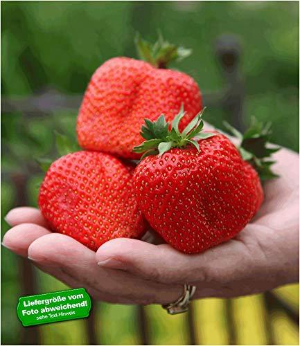 BALDUR Garten Erdbeere 'Sweet Mary XXL®', 3 Pflanzen Fragaria XXL Früchte und XXL Aroma Riesenerdbeeren