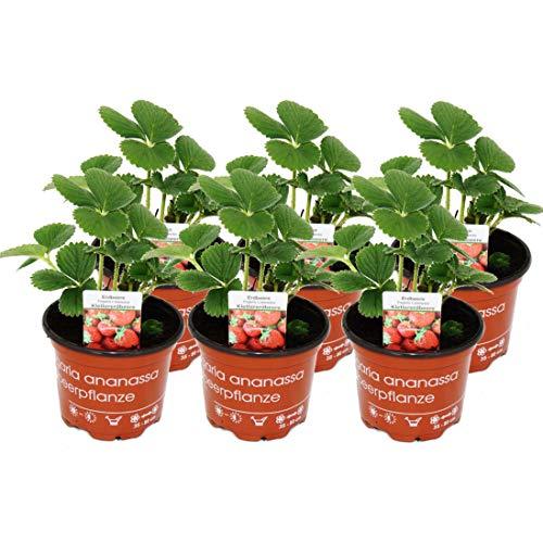 Exotenherz - Klettererdbeere Fragaria x ananassa 6 Pflanzen