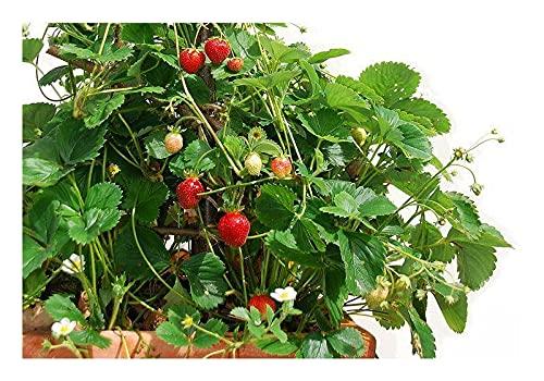 Kletter-Erdbeere Hummi 3 Stück