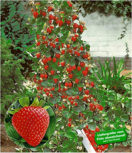 BALDUR Garten Kletter-Erdbeere 'Hummi®', 3 Pflanzen Fragaria Erdbeerbäumchen schnellwachsende Klettererdbeeren, selbstfruchtend