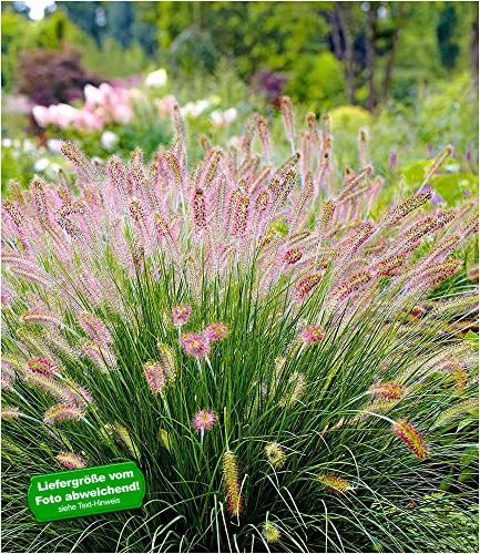 BALDUR-Garten Lampenputzergras Hameln winterhart, 3 Pflanzen Pennisetum Federborstengras, Süßgras