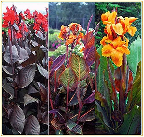 Canna pflanze knolle/Sommerblumen/Starke Anpassungsfähigkeit, aktive Pflanze-5Zwiebeln